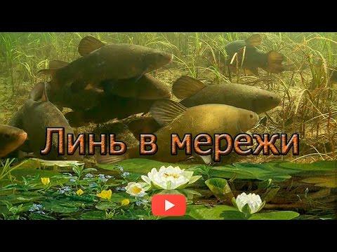 ловля линя мордами видео