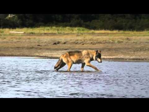 Alaska Wolves and Bears Tours