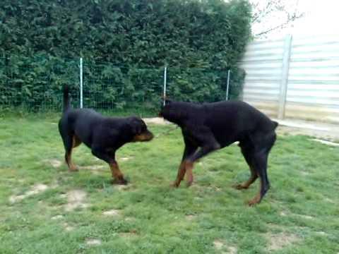 rottweiler fighting