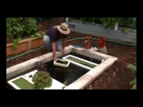 how to grow tilapia