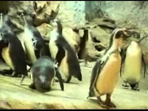 นกเพนกวินฮัมโบลด์ นกเพนกวินเปรูเวียน