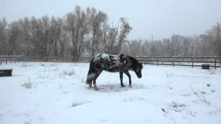 <h5>Enjoying the Snow</h5><p>Luna, a Mustang, and her friend, Nala, enjoy the snow. This video was picked up by a California TV station and received more than 200,000 Facebook likes. Luna was adopted Fall 2015 from a Mustang herd. She is not wearing a blanket because she finds them annoying.</p>