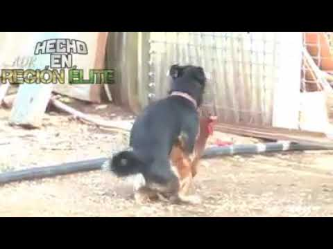 Video Perro se viola a una gallina :'v download in MP3, 3GP, MP4, WEBM, AVI, FLV January 2017