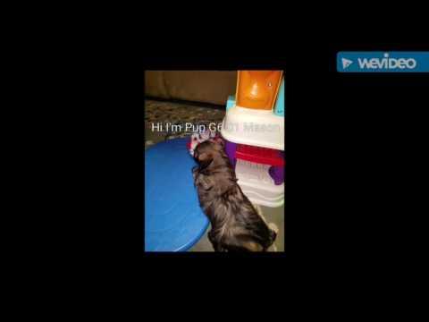 G6-01 Mason Male Lhasa Apso Pup