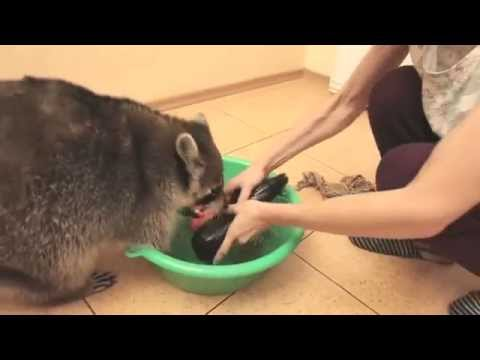 Raccoons will wash everything you love