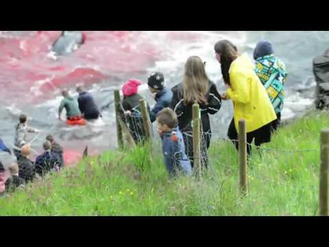 這班人把120頭鯨魚「誘騙到岸邊後展開大屠殺」,在一旁觀賞的民眾表情讓大家都覺得人類才是最可怕的生物…
