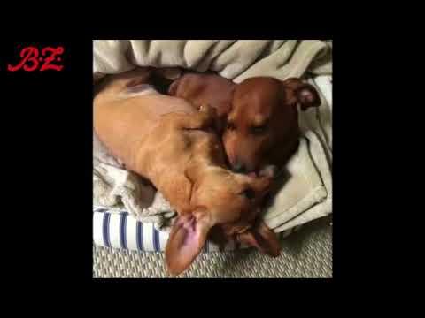 Einmal zwei Dackel bitte! Die beiden Hunde scheinen unz ...