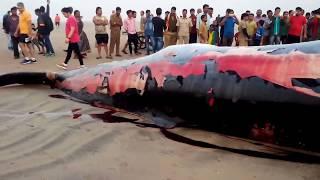 Video Whale Fish washed on the Juhu Beach Shore Mumbai INDIA MP3, 3GP, MP4, WEBM, AVI, FLV Juni 2018