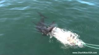 Kleinbaai South Africa  City new picture : Shark Diving (Kleinbaai/Gansbaai) -* Cape Town *- South Africa