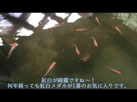 復活!メダカビオトープ 8月 紅白メダカ爆増中