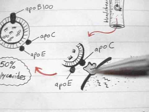 Lipoprotein Physiology: LDL (3/4)