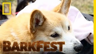 When a Corgi Can't Walk, Her Owner Finds a Set of Wheels | BarkFest by Nat Geo WILD