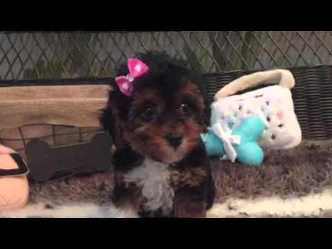 Itty bitty, pocket size Maltipoo baby girl