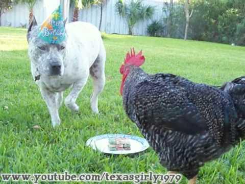 incredibile reazione di un pitbull infastidito da un gallo