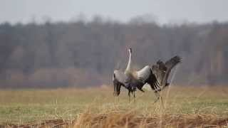 Download Lagu Taniec Zurawi, Common Crane Dance (Grus grus) Mp3