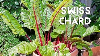 Grow and Harvest one of the best varieties of Swiss Chard in containers. Chards are a great alternative to Spinach and are super...