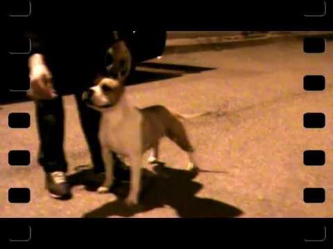 Vendita american staffordshire terrier