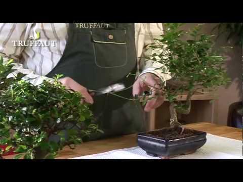 comment traiter un ficus ginseng