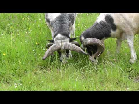 The Animals - Thời lượng: 6 phút, 25 giây.