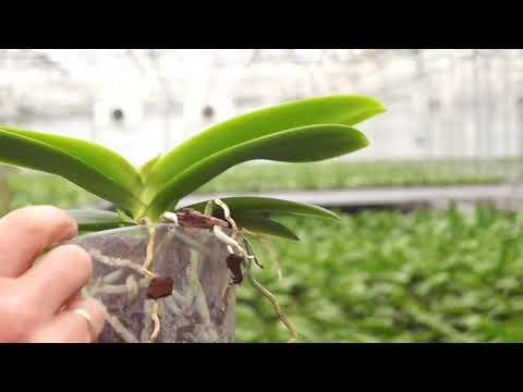 Wie bekomme ich meine Orchidee zum Blühen?