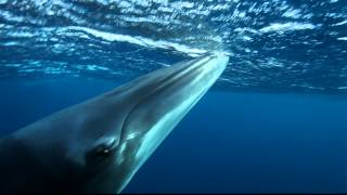 Minke whales as seen on Eye to Eye Marine Encounters, these creatures are absolutely amazing creatures and Cairns & Great Barrier Reef is the only place on Earth you can swim with them.