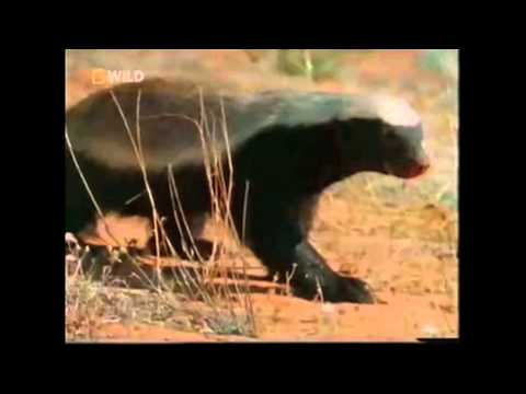 The Crazy Nastyass Honey Badger %28original narration by Randall%29