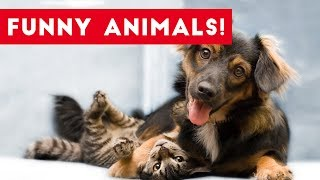 Brand new weekly compilation of the funniest dog, cat, bird and other pet and animal clips, bloopers, outtakes & funniest moments caught on tape. Send us a link to your video if you would like to see it in one of our compilations.https://docs.google.com/forms/d/1sR5Y6PyFGOpIMp6-j6XDAH3J07naG4ruRAfXyTOWZRE/viewform?c=0&w=1Check out more Funny Dog Videos ► https://www.youtube.com/watch?v=7zZU-5uPHdQ&list=PLf6Ove6NWsVcM75fCjLk3i-9IkpCmPyXw&index=3Funny Cat Videos ► https://www.youtube.com/watch?v=BoM9-bXzDjk&list=PLf6Ove6NWsVeM5MOVs_Yzj3AsV41DfQ9R&index=1Click here to Subscribe ► https://www.youtube.com/user/tailsnfails?sub_confirmation=1Welcome to Funny Pet Videos, a channel dedicated to cute, fluffy cats and curious, rambunctious dogs. We are here to fill your life with more furry and funny things the adorable friends in our lives do. Every Thursday, Friday, Saturday and Sunday we'll have a new compilation of the funniest home videos of cats, dogs, birds and all kids of animals being equally hilarious and adorable. Be sure the Subscribe to our channel to never miss one! So sit back, relax and have a laugh on us. For licensing information contact us at licensing@collabcreators.com. We'd love to have your furry friend on our channel!