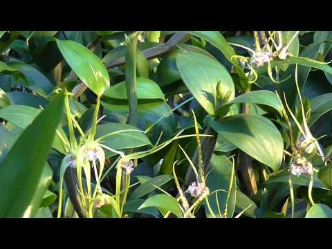 Orchideen Arten: Dendrobium Hilda Poxon x tetragonium