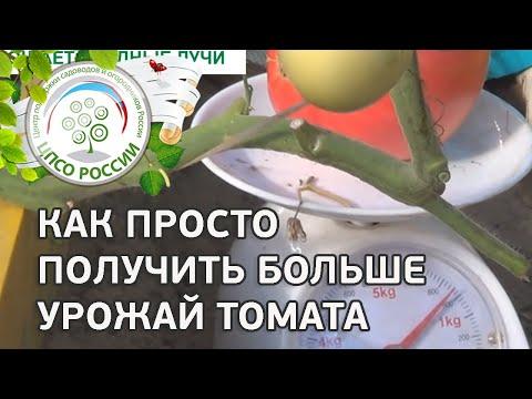 Выращивание индетерминантных (высокорослых) сортов томата. Как приспускать главный стебель томатов.