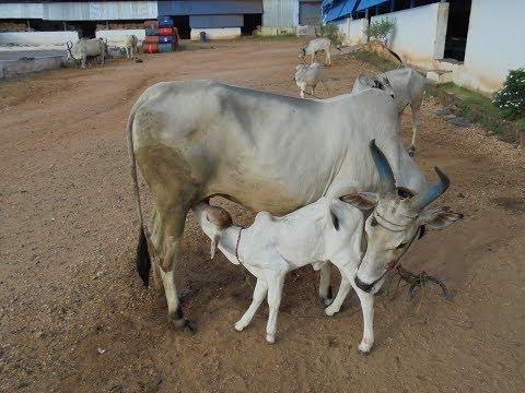 Video Milking Kangeyam Cows: காங்கேயம் மாட்டு பால் கறவை download in MP3, 3GP, MP4, WEBM, AVI, FLV January 2017