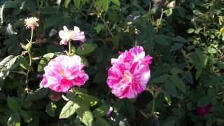 #966 Die Gallica Rose Rosa Mundi (Rosa versicolor)