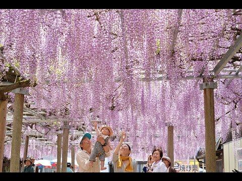 「千年藤」 紫色のシャワー 宍粟市
