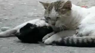 A Cat Tries To Save His Injured Friend :(