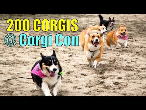 PLAYING W/ 200 CORGIS @ CORGI CON – Life After College: Ep. 353