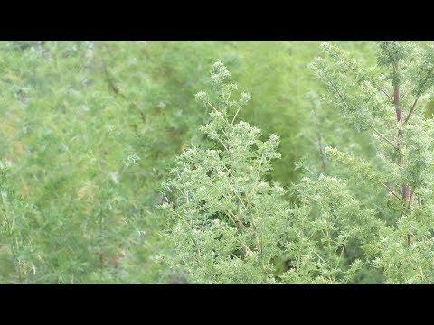 artemisia annua, la pianta capace di distruggere le cellule tumorali