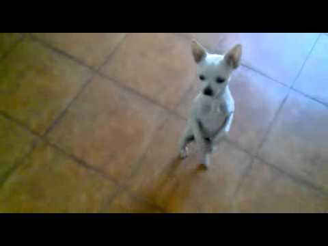 willy o Chihuahua que dança Flamenco.