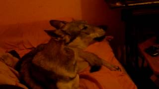Regular early morning howling: Veni listening radio and singing, this time  with Meta Močnik