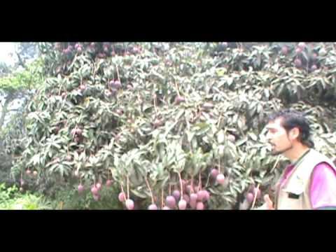 Árboles frutales - Mango