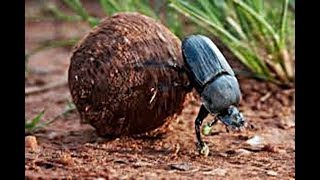 Amazing True Facts About Dung Beatles by Epic Wildlife