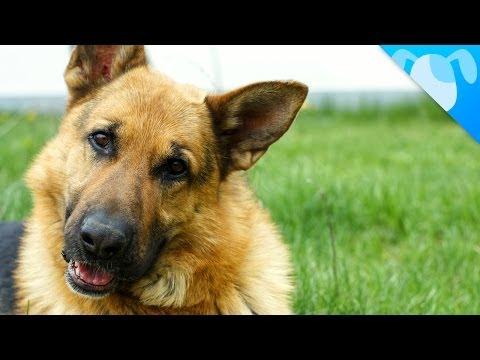 pastore tedesco: un cane speciale!