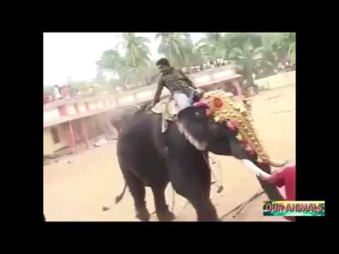 Video Elephant Kills Man   Angry Elephants attacking Humans and Wrecking Objects Compilation download in MP3, 3GP, MP4, WEBM, AVI, FLV January 2017