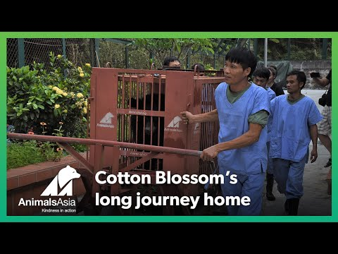 The story of Cotton Blossom's Rescue