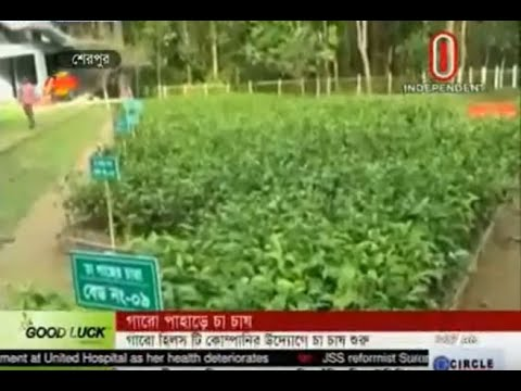 Tea cultivation begins under Garo hills tea company (18-06-2018)