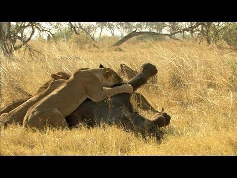 Lion Vs. Elephant