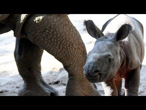 Tierpark Berlin - niedlicher Nashorn- Nachwuchs