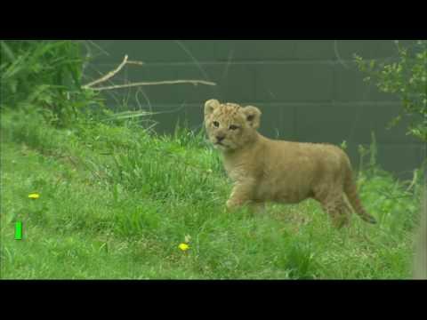 Конь на АЗС, медведь-дачник и новый «Король Лев»: животные, которые нас удивили (видео)