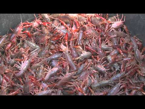 Grown on the Bayou | Southeast Texas Crawfish