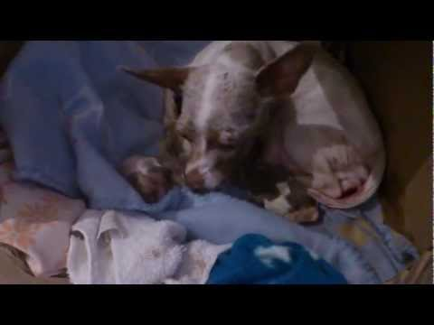 Chihuahua giving birth to adorable puppies