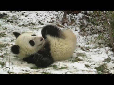 Tierpark Schönbrunn: 18 Monate alte Panda-Zwillinge ...