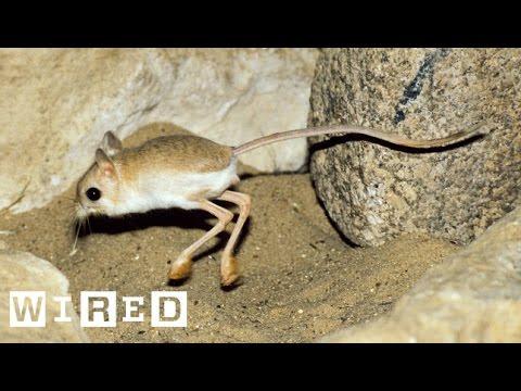 This Tiny Adorable Critter Is Half Kangaroo Half
